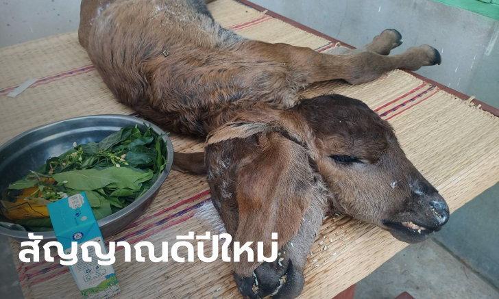 ลูกวัวคลอดก่อนกำหนด ต้องช่วยดึงขาออกมาจากท้องแม่ สุดอึ้งตัวเดียวแต่มี 2 หัว