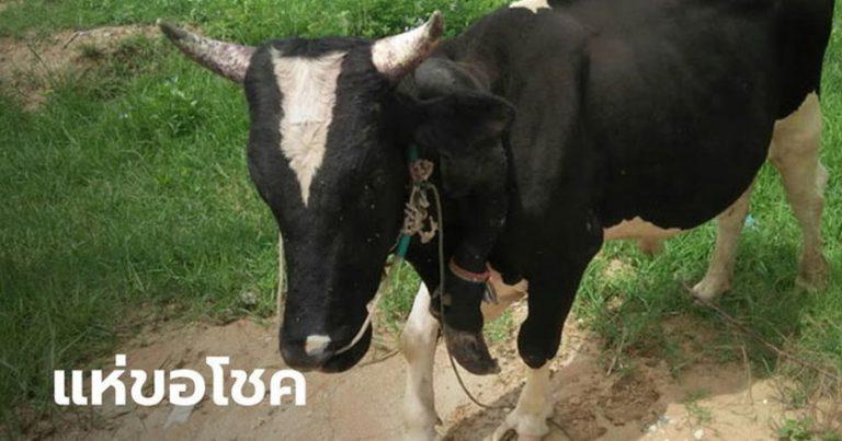 ให้โชคมาแล้วหลายงวด วัดเมืองโคราช เลี้ยงวัว 5 ขา ชาวบ้านแห่ขอโชคลาภ